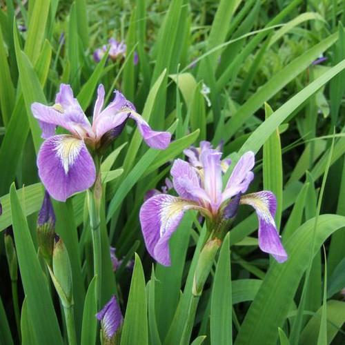 Iris versicolor - Blue flag - Poison flag