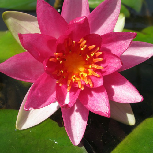 Nymphaea Gloriosa - Red Water Lily - 3 Litre
