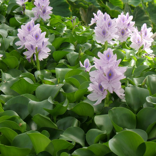 Eichhornia crassipes - Water hyacinth