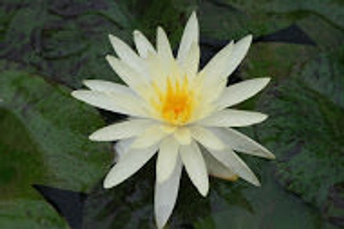 Nymphaea Yellow Queen- Premium Water Lily