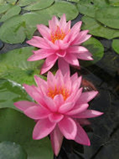 Lily Collection for Medium Ponds