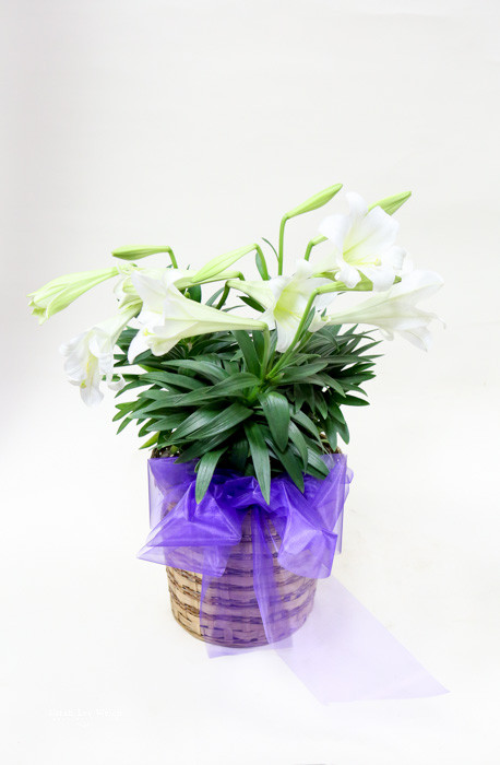 large Easter lily