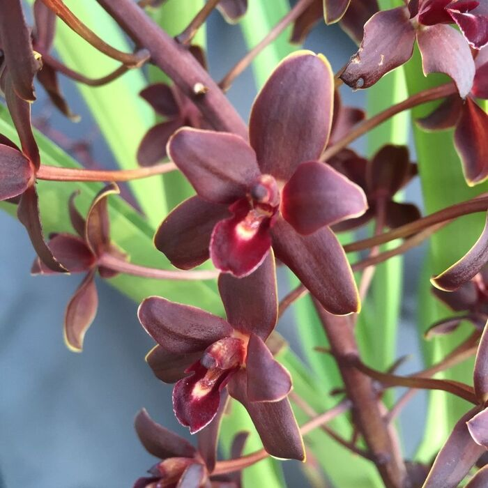 Cymbidium Little Black Sambo 'Black Magic' AM/AOS
