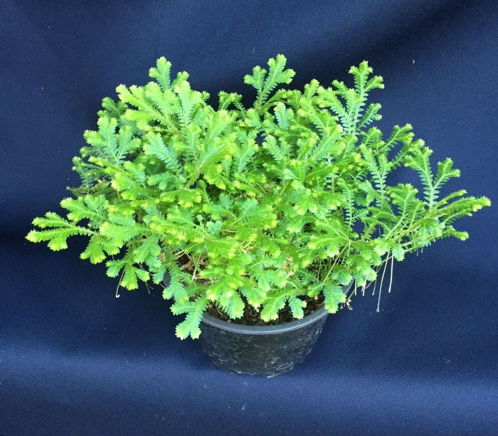 Emmeli Fern, Selaginella Emmeliana, Club Moss