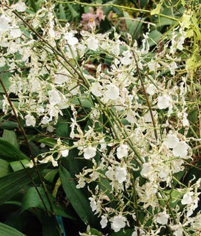 Oncidium Speckled Spire 'Whisp'