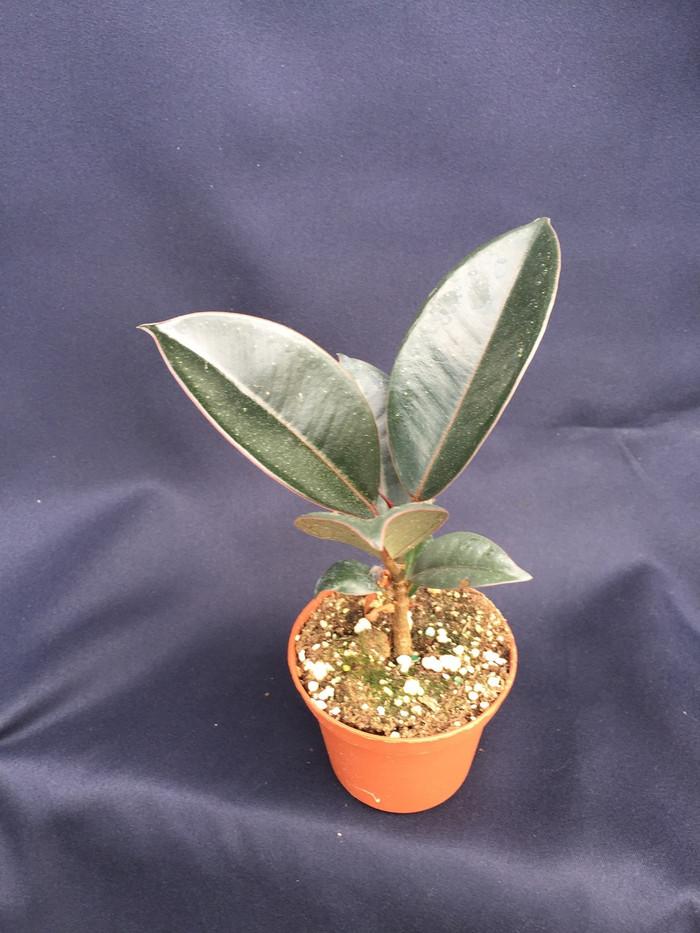 Ficus elastica 'Burgundy'  Rubber Tree Plant