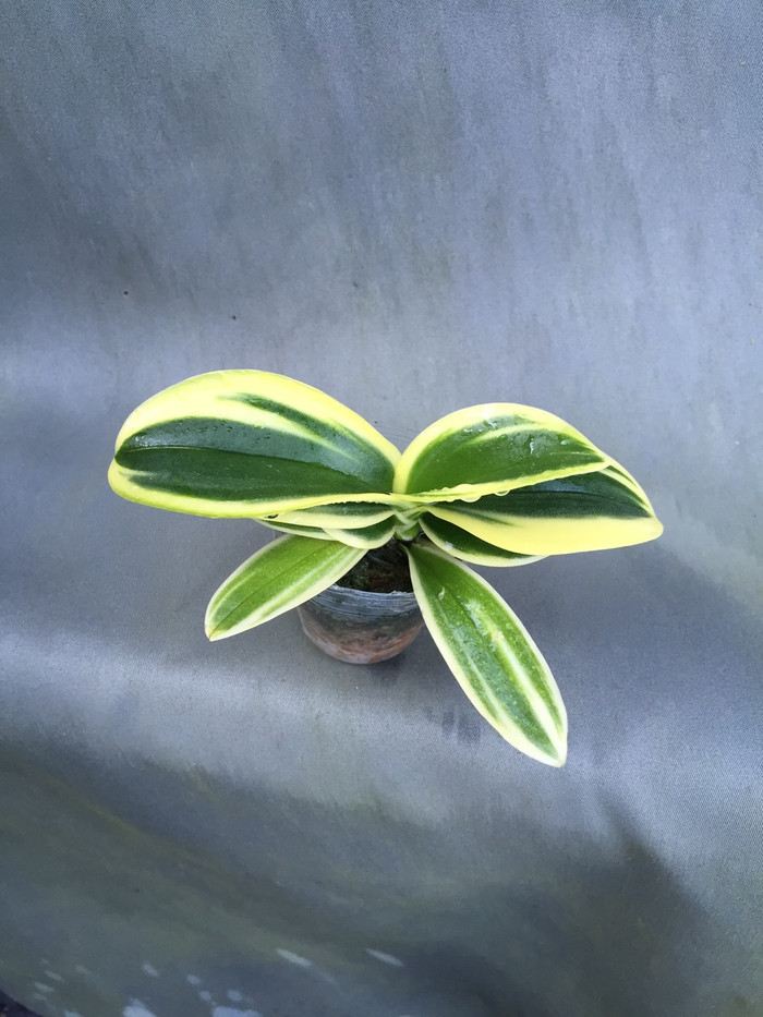 Phalaenopsis Sogo Yenlin 'Coffee'  Rare Variegated Foliage Orchid