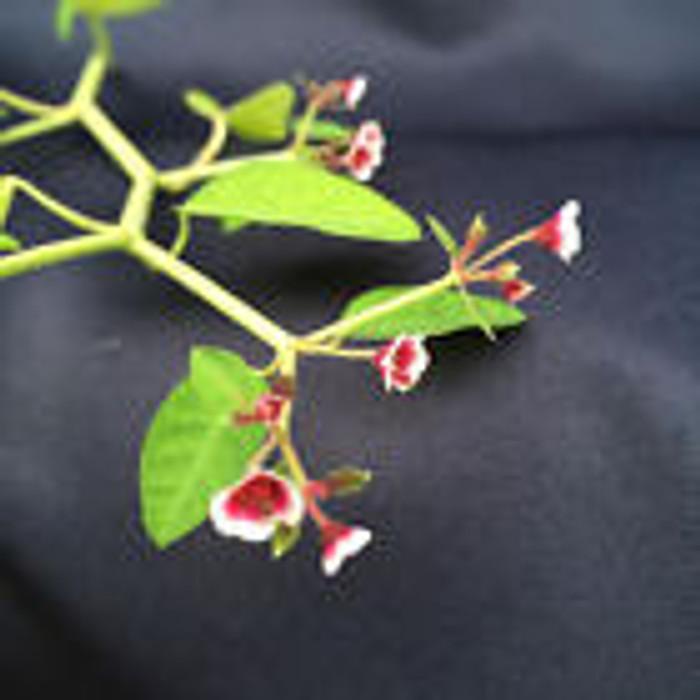 Euphorbia guiengola