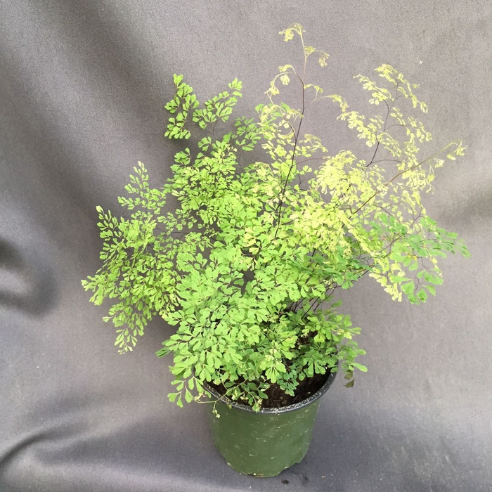 Little Lady Maidenhair