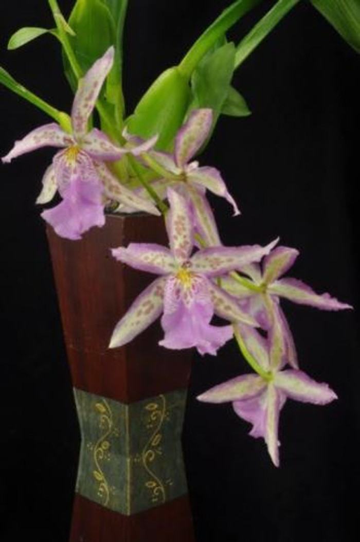 Aliceara Angel Star 'Desirable Debutante'