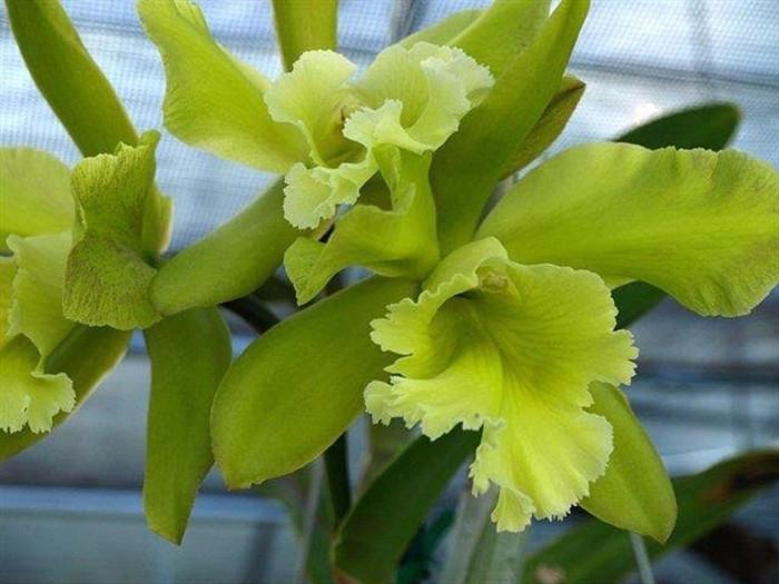 Prosrhyncholeya Orchidom Green Glade 'Shungetsu'
