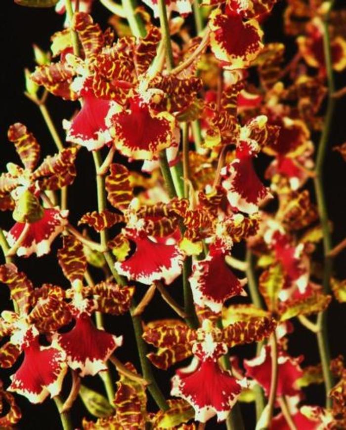 Oncostele Everglades Elegance 'Nancy Lee' HCC/AOS
