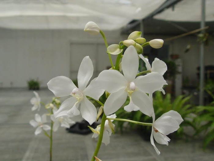 Spathoglottis plicate Alba
