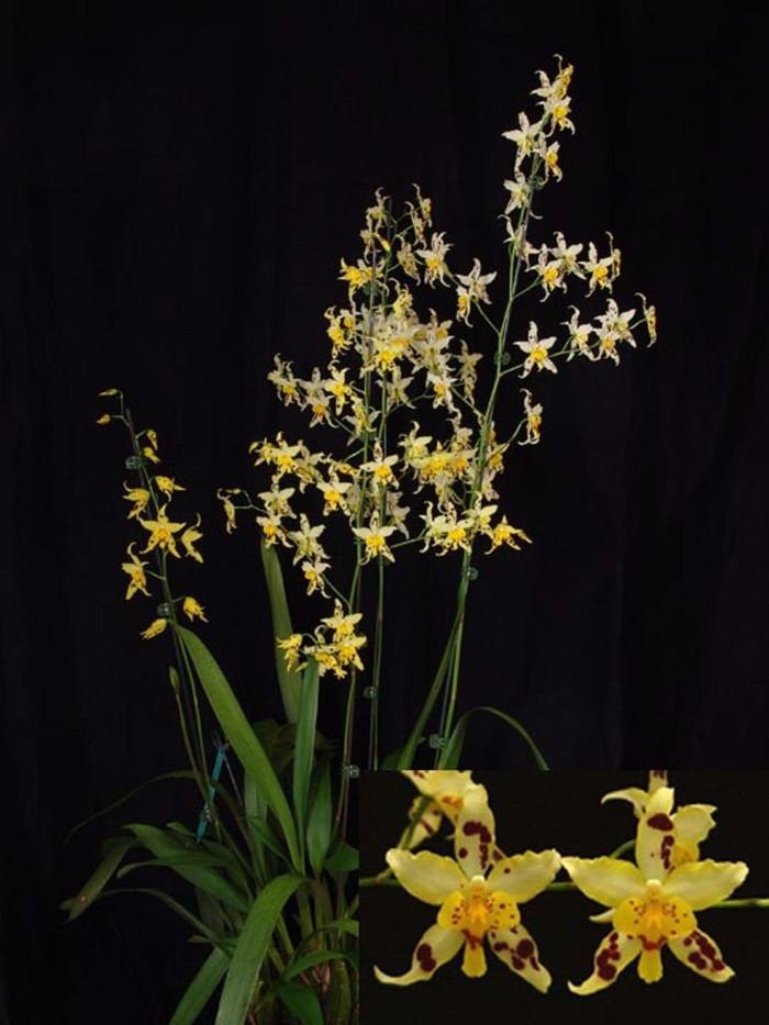 Oncidium Serendipity 'Yellow Mellow' AM/AOS