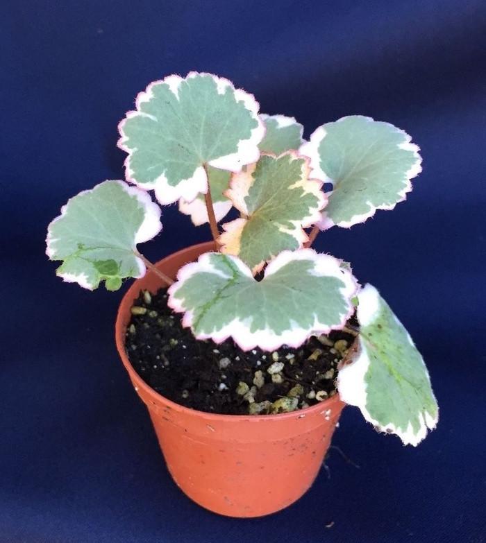Strawberry Begonia, Variegated