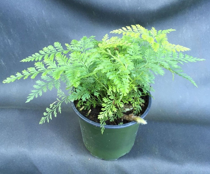 Brown Rabbit Foot Fern