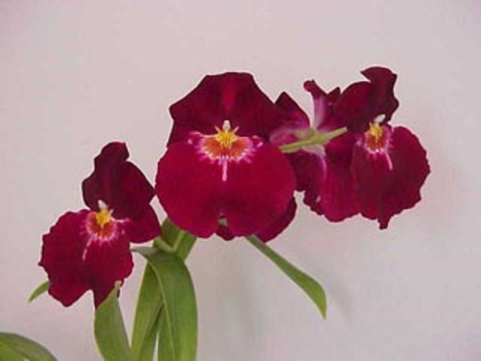 Miltoniopsis Bert Fields 'Leash' AM/AOS