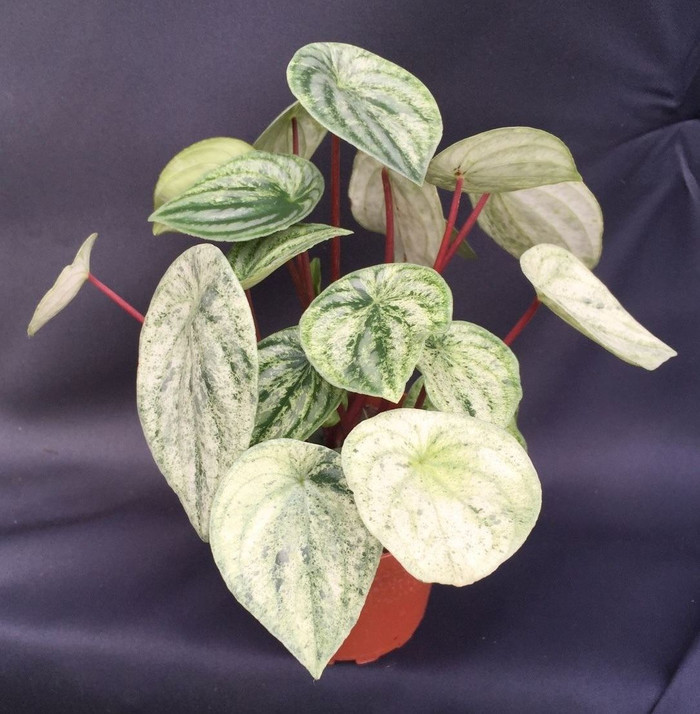 Variegated Watermelon Peperomia