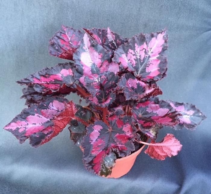 Begonia Black Heart