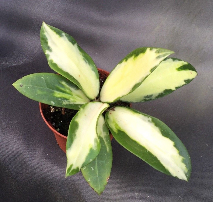 Hoya parasitica Variegated