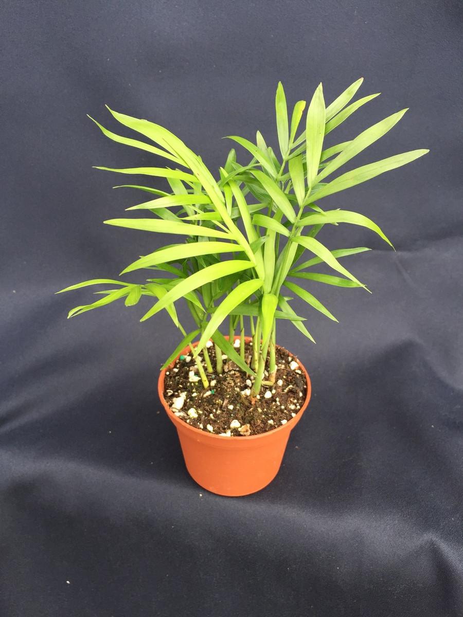 Parlor Palm, Chamaedorea elegans