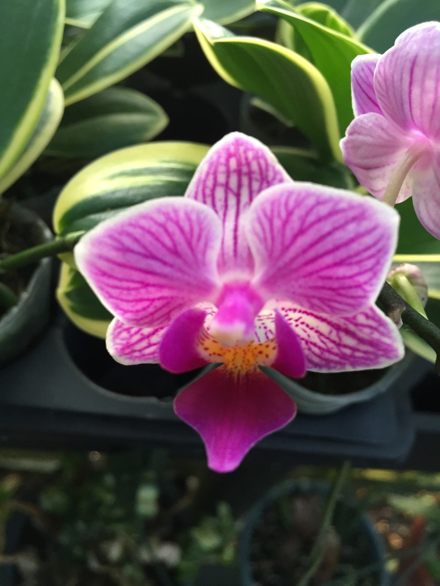 Phalaenopsis Sogo Yenlin 'Coffee'  Rare Variegated Foliage Orchid