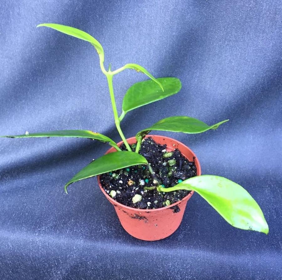 Hoya benitotanii