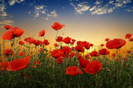 Poppies by Tais