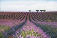 Velours de Lavender by Margarita Chernilova
