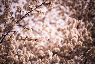 Cherry Blossoms by Alex Levine