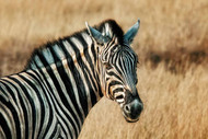 The Zebra by Piet Flour