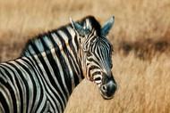 The Zebra by Piet Flour