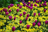 Magenta Tulips and Yellow Flowers by Nora De Angelli