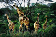 Herd of Giraffes by Nora De Angelli