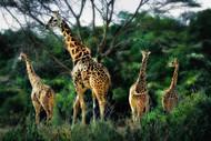Herd of Giraffes by Nora De Angelli