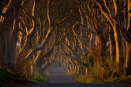 Dark Hedges in the Morning Sunshine by Piotr Galus