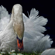 Swan in Grass and Flowers by Piet Flour