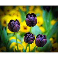 Four Tulips and Yellow Flowers by Nora De Angelli