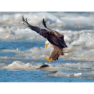 Ice Snow with Bald Eagle by Wei Tang