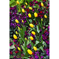 Yellow Tulips and Purple Flowers by Nora De Angelli