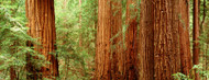 Privacy Screen: Redwoods Muir Woods