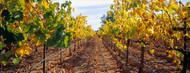 Standard Photo Board: Vines in a Vineyard Napa - AMER