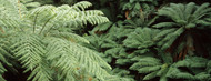 Privacy Screen: Tarra-Bulga National Park Ferns