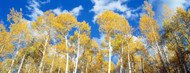 Privacy Screen: Aspens Uncompahgre National Forest