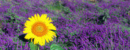 Privacy Screen: Lone Sunflower in Lavender Field