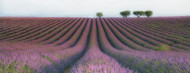 Standard Photo Board: Velours de Lavender by Margarita Chernilova - AMER
