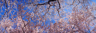 Extra Large Photo Board: Cherry Blossom Trees - AMER