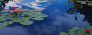 Standard Photo Board: Water Lilies in a Pond - AMER