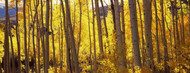 Standard Photo Board: Aspen Trees in Autumn Colorado - AMER