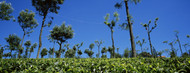 Standard Photo Board: Tea Plantation Nilgiris Kerala India - AMER